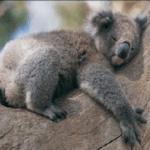 Un peculiar animal el Koala visto desde el punto de vista en la sociedad